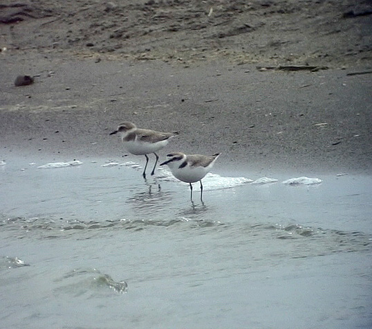 Svartbent strandpipare<br>Charadrius alexandrinus<br>Kentish Plover