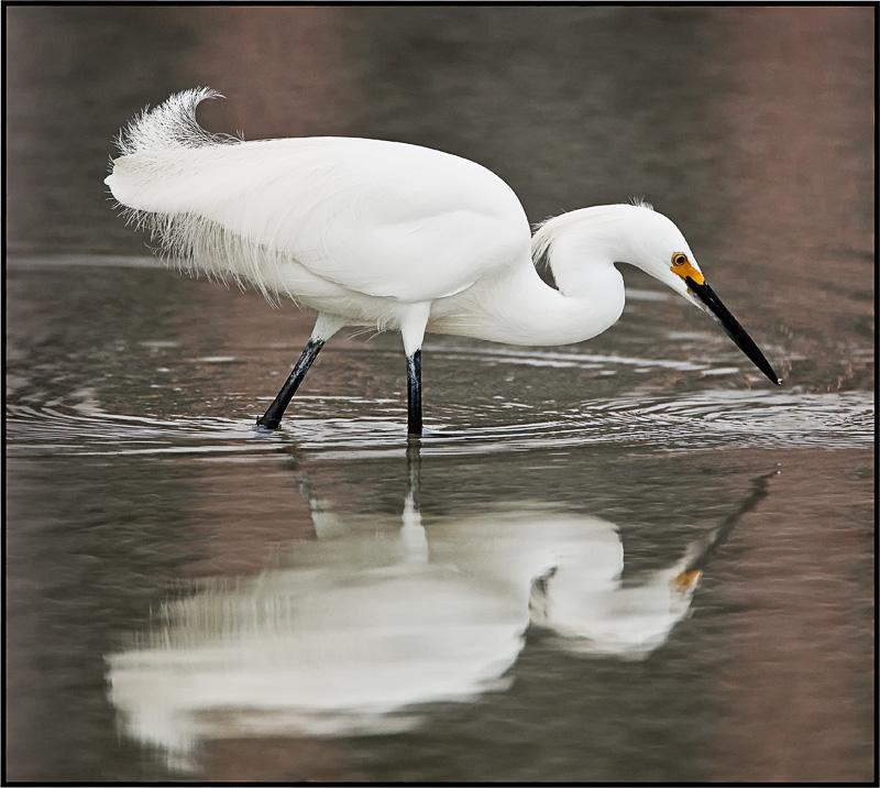 snowy egret hunting.jpg