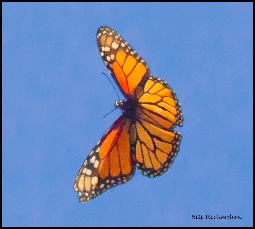 butterfly in flight.jpg