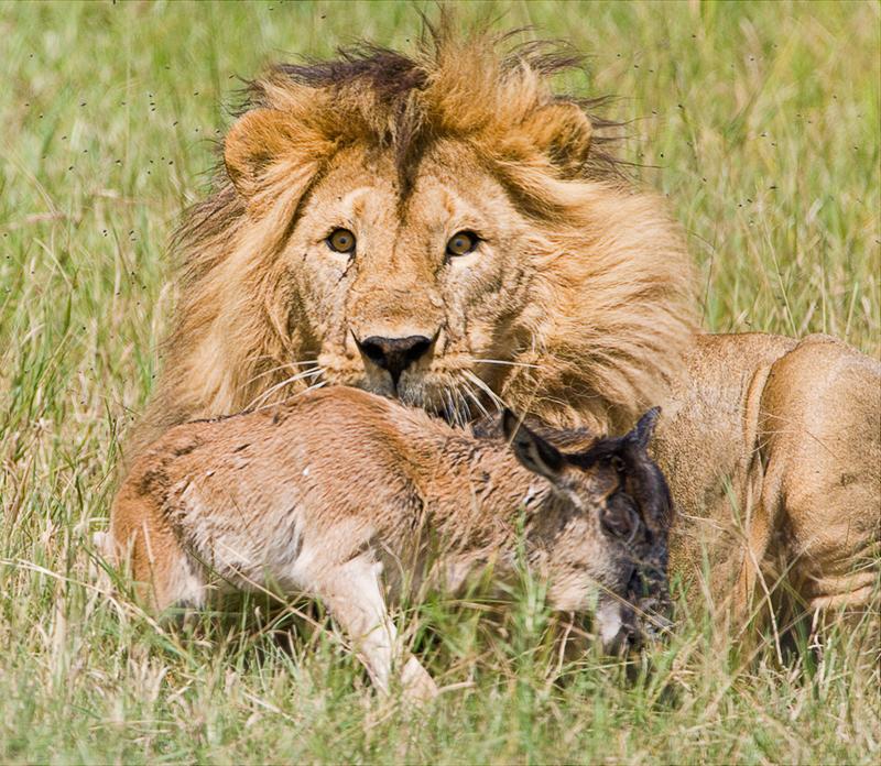 lion kill 2 copy.jpg