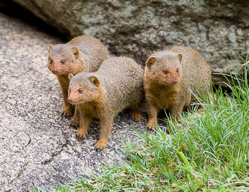 pygmy mongoose.jpg