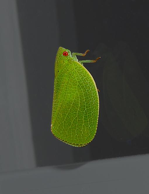 Flatid Planthopper