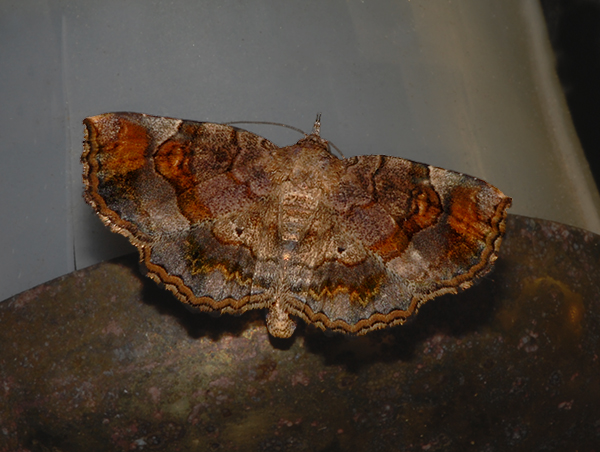Decorated Owlet Moth (8490)
