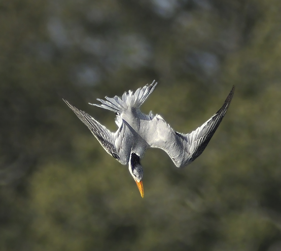 Royal Tern in Dive