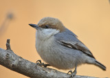 Brown-headed Nuthatch Video
