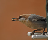 Brown-headed Nuthatch Feeding Video
