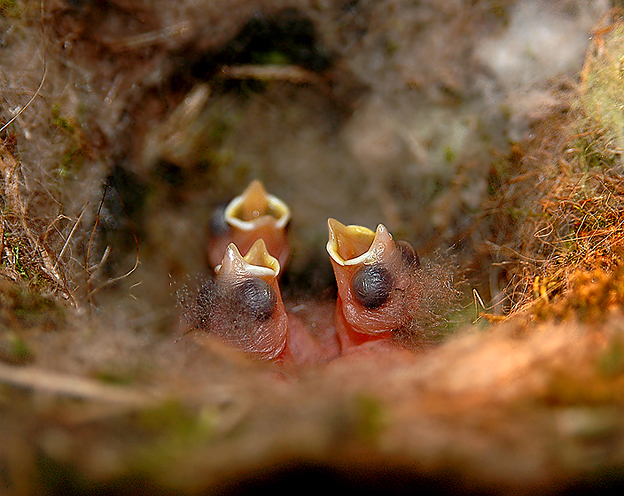 Carolina Chickadee Hatchlings