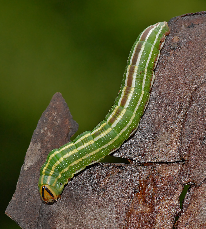 Southern Pine Sphinx Caterpillar (7816)