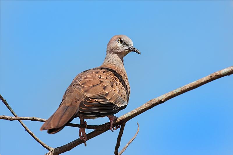 Juvenile Spotted Dove.jpg
