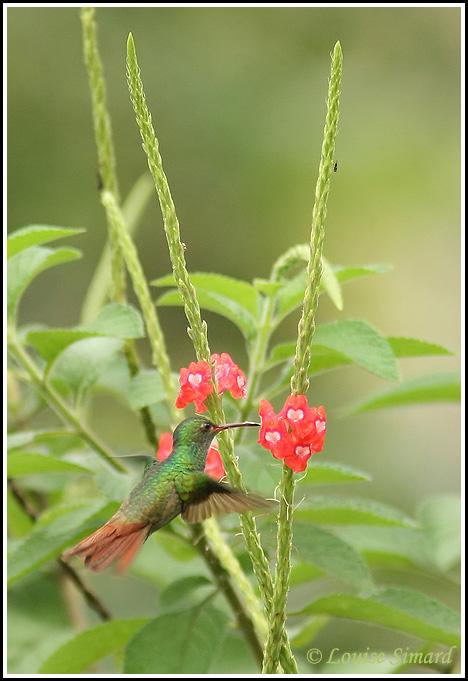 Rufous-tailed Hummingbird / Ariane à ventre gris