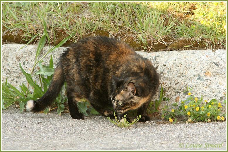 Chat écaille de tortue / Tortoiseshell Cat