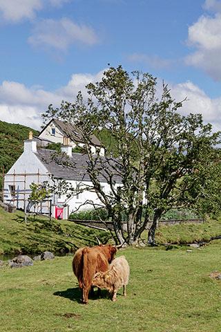 Highland Cows in Duirinish