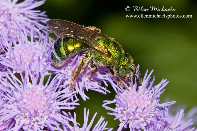 Striped-Sweat Bee