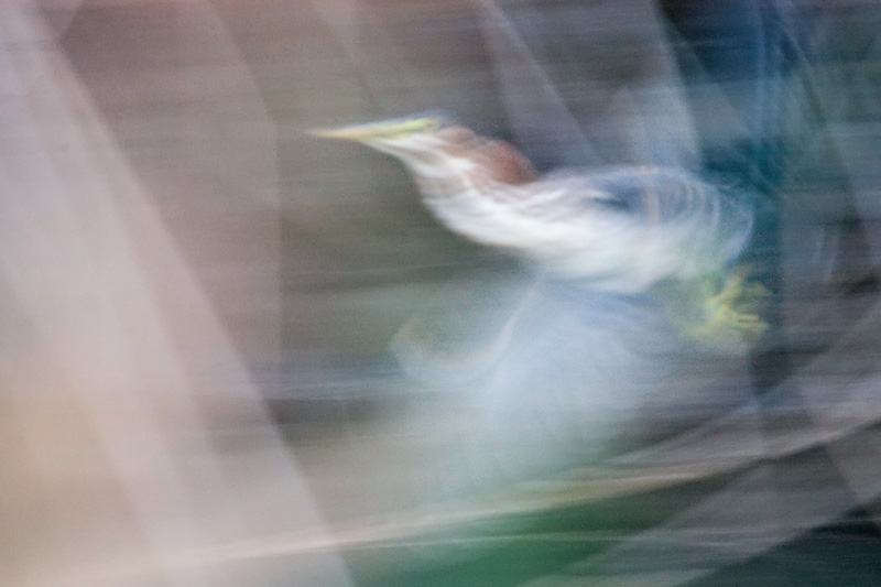 Green Heron, long exposure