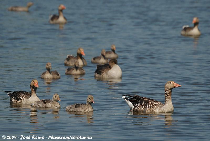 Greylag Goose<br><i>Anser anser anser</i>