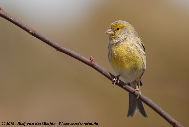 Atlantic Canary<br><i>Serinus canaria</i>