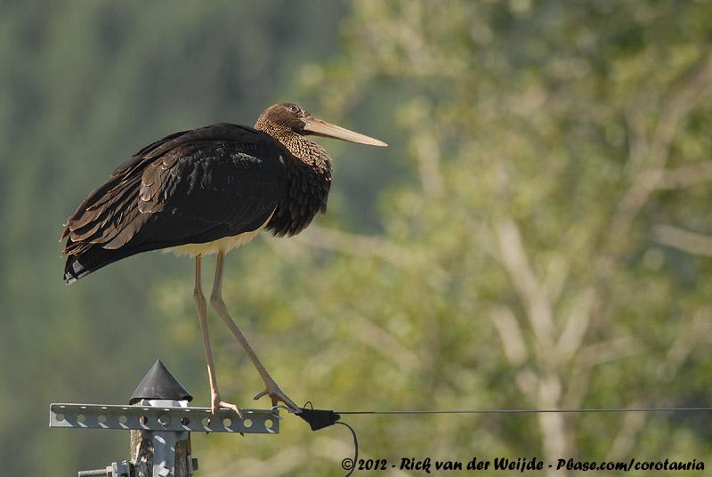 Black Stork<br><i>Ciconia nigra</i>
