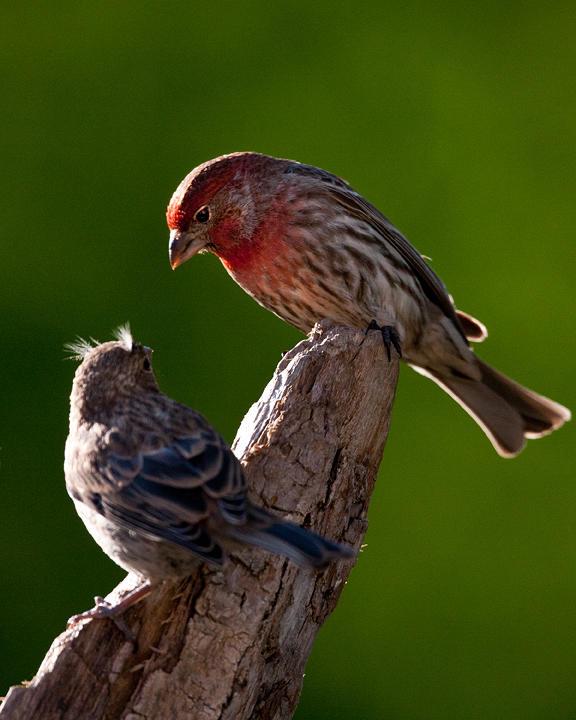 House Finch-Male&Female