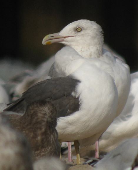 Trick question - - which gull?