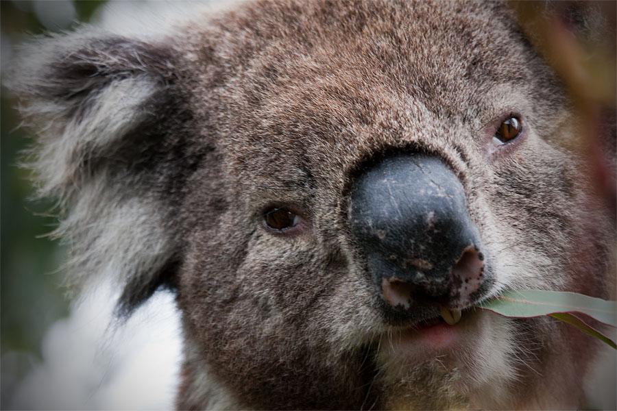 Koala having a snack