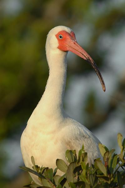 White Face Ibis Portrait