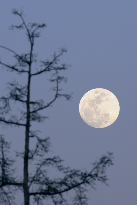 Full Moon Tree Top