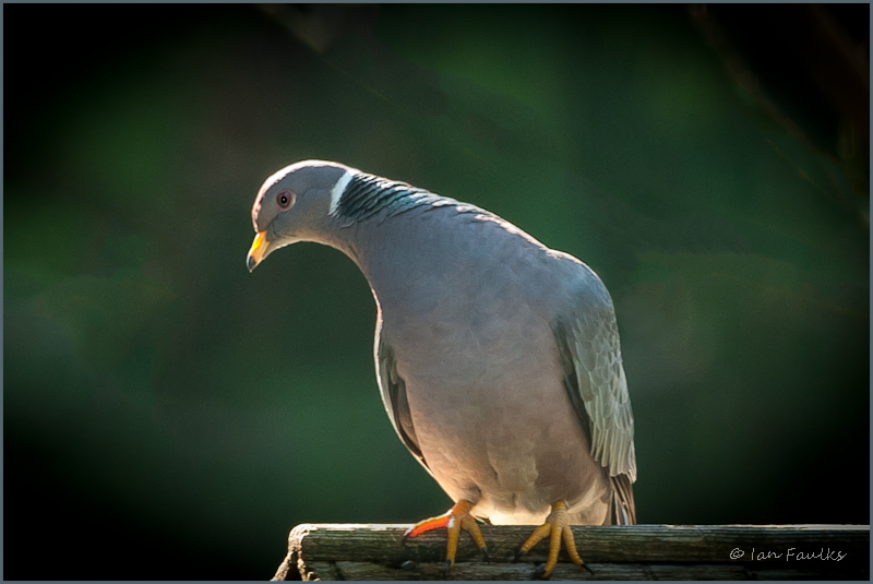 Band-tailed Pigeon-.jpg