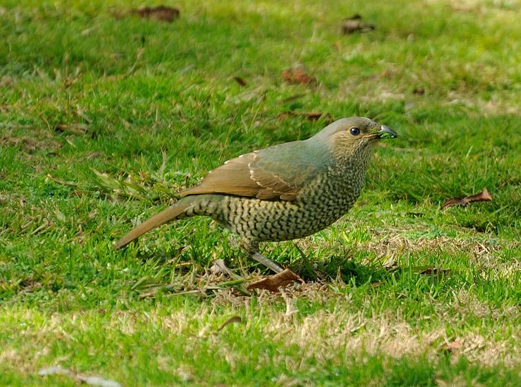 Female Australian Satin Bower Bird