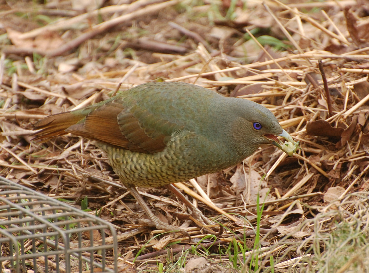 Female satin Bower Bird eating baby strawberries - taken through the kitchen window.