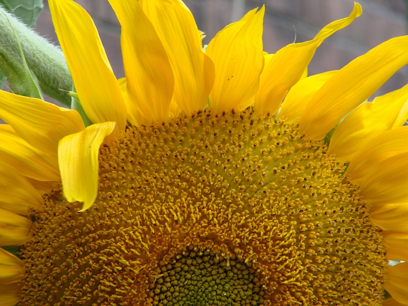 Sunflower - the Sunshine Flower