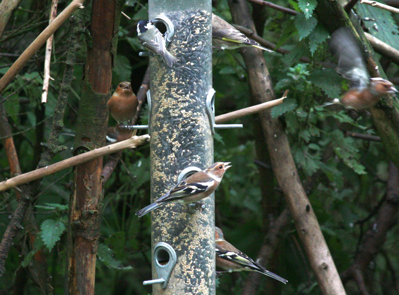Finches and Tits, Wallington Hall Gardens