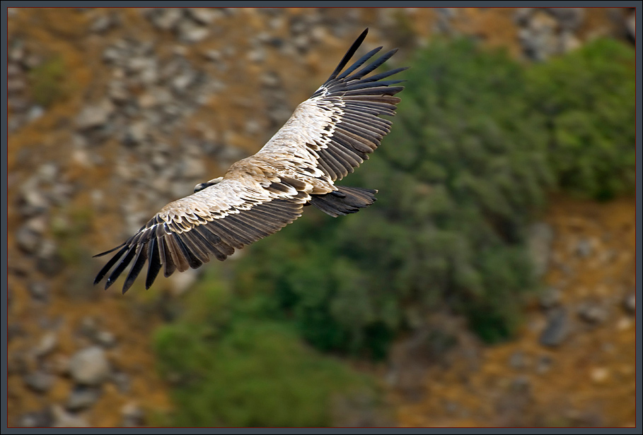 The biblical Griffon vulture, Gamla / Israel