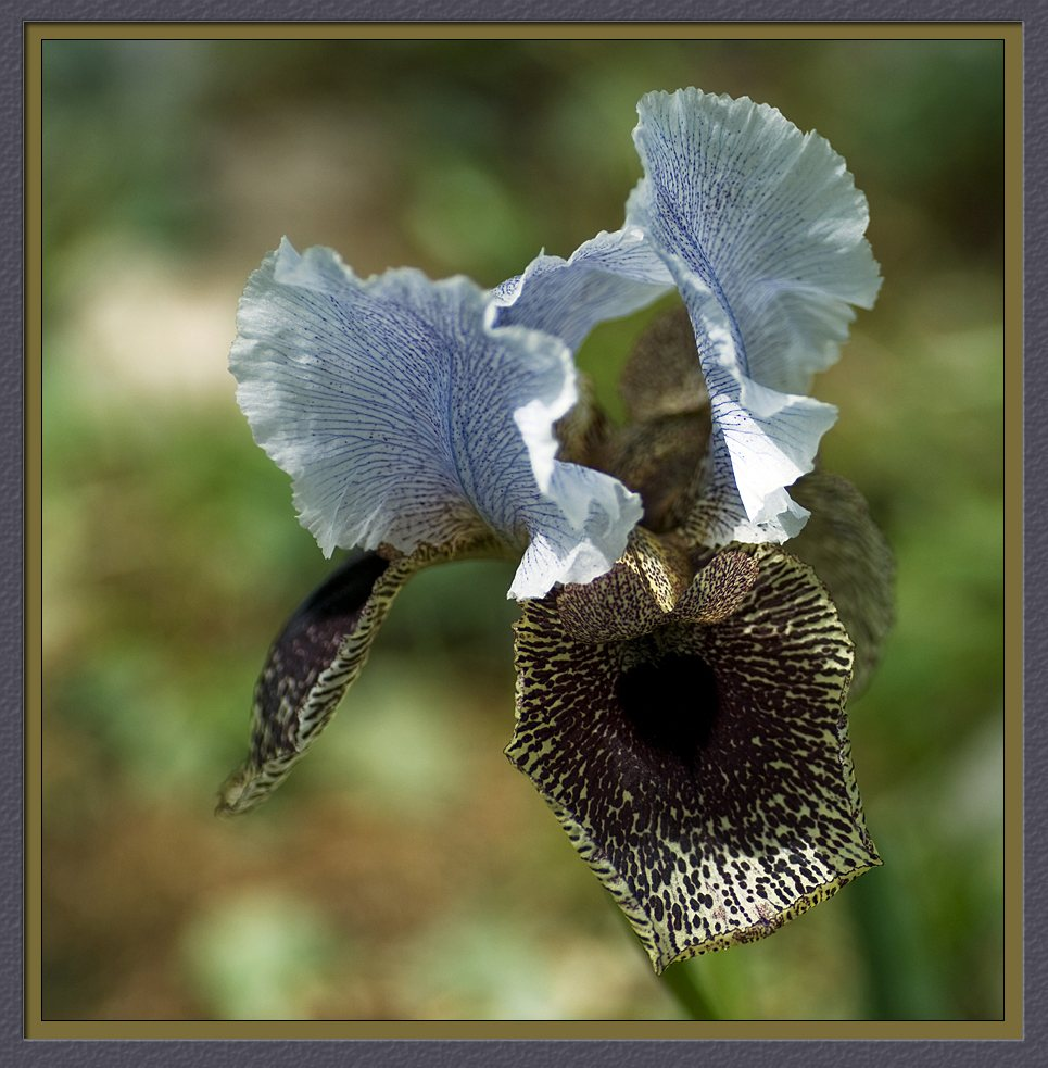 The Iris of Nazareth (Iris Bismarckiana)  II