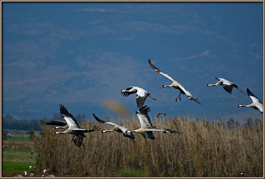 White cranes