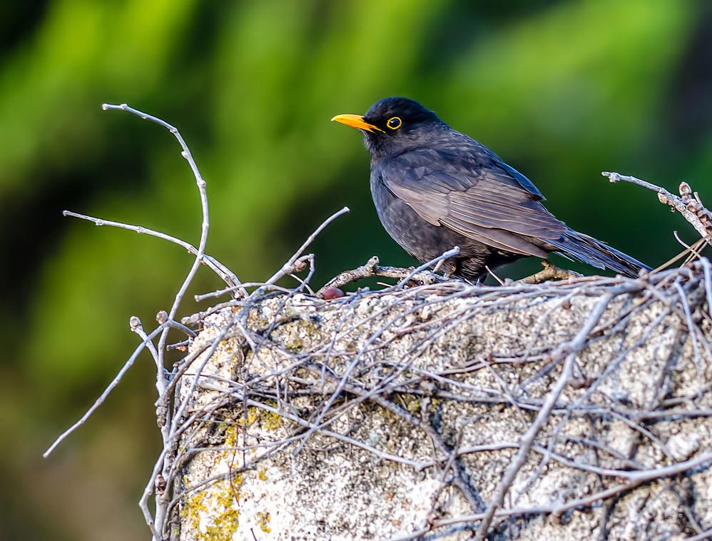 Mr. blackbird has finally woken...