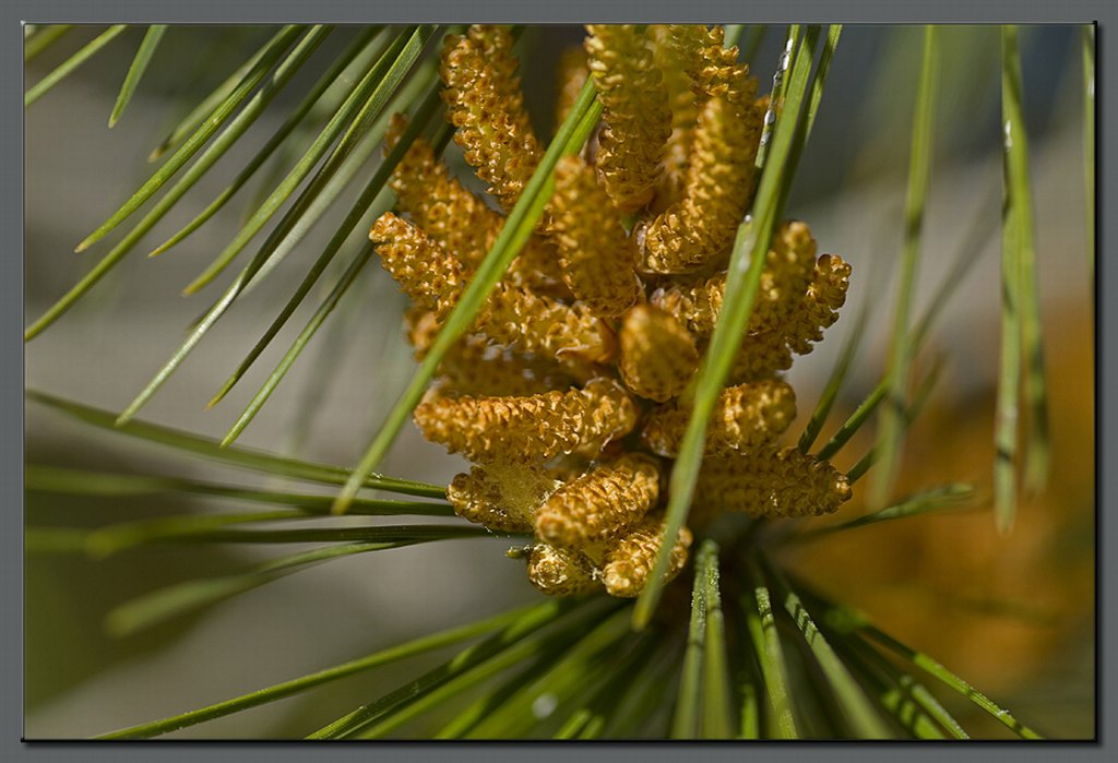 Pine in blossom