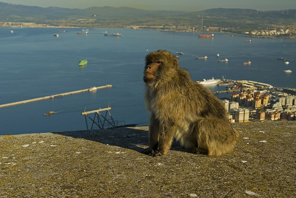 Gibraltar, the macoque monkies