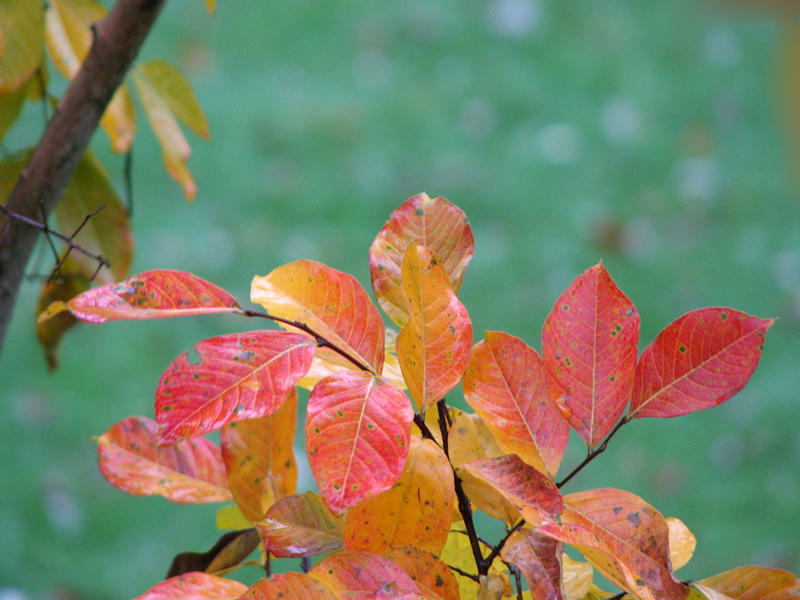 Leaves on the Crape Myrtle