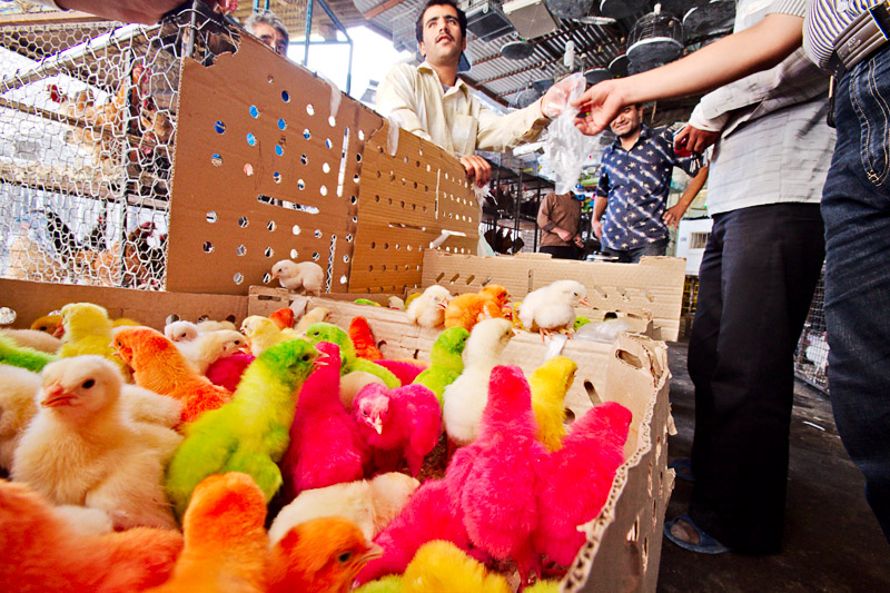 Colorful chicks - Esfahan