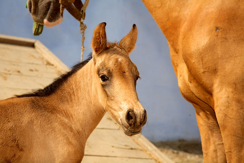 Foal with mother - Mardan