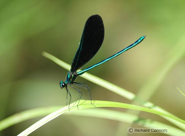 Ebony Jewelwing (Calopteryx maculata) m