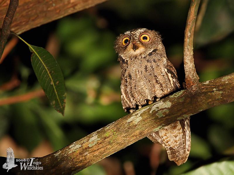 Tyto nigrobrunnea The Sula Island Masked Owl  Beautiful