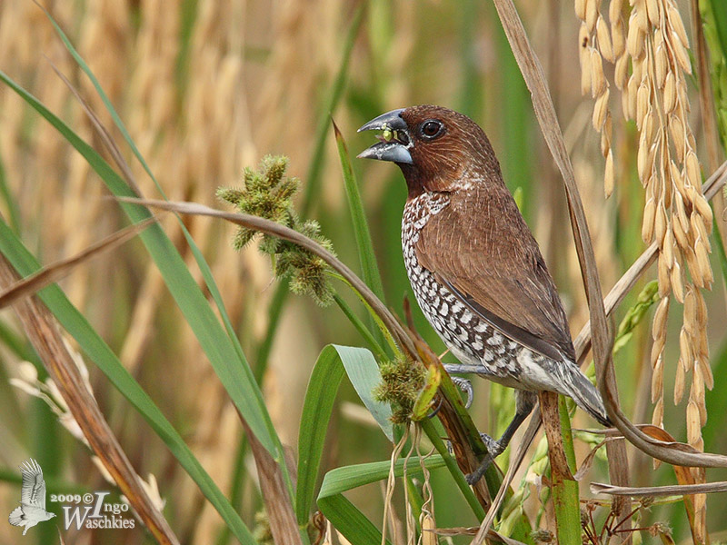 Adult Scaly-breasted Munia