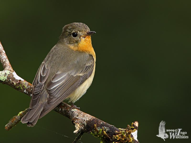 Adult female Mugimaki Flycatcher
