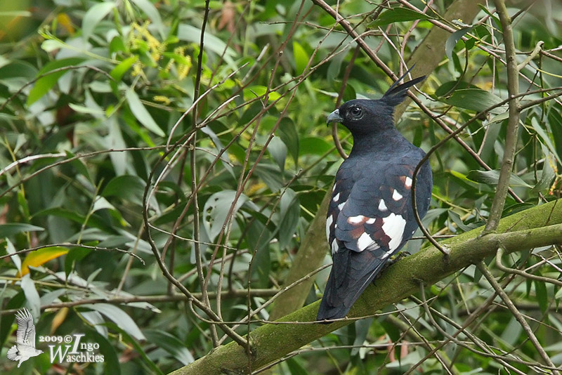 Adult Black Baza (presumably ssp. <em>syama</em>)