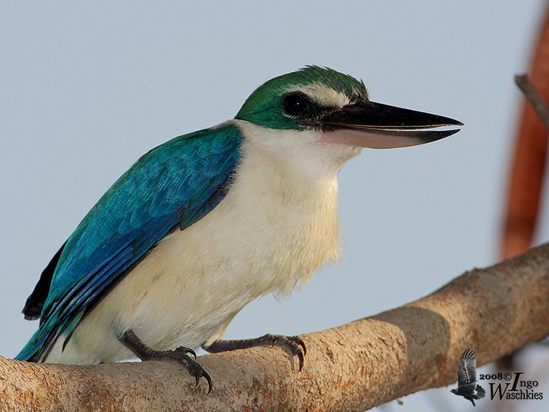 Adult Collared Kingfisher