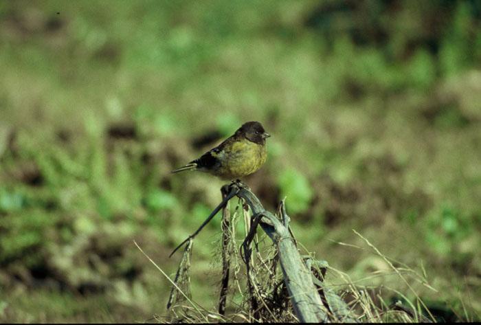 Black-headed Siskin  (Serinus nigriceps)
