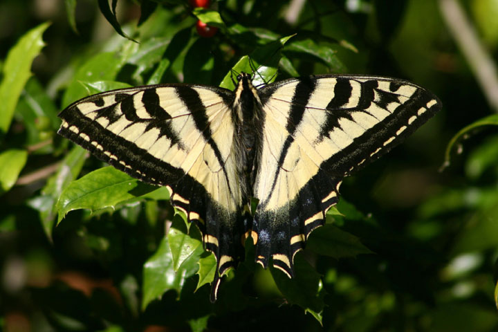 Papilio rutulus; Western Tiger Swallowtail; male
