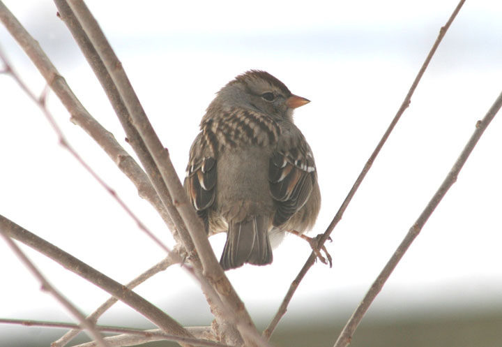 White-crowned Sparrow; immature