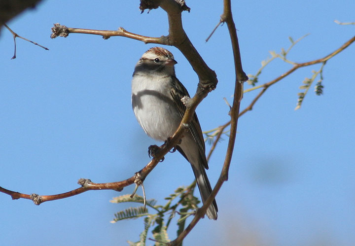 Chipping Sparrow; basic